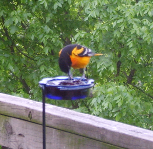 Adult male Baltimore Oriole click to enlarge!